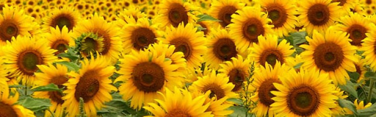 cropped-cropped-sunflowers.jpg
